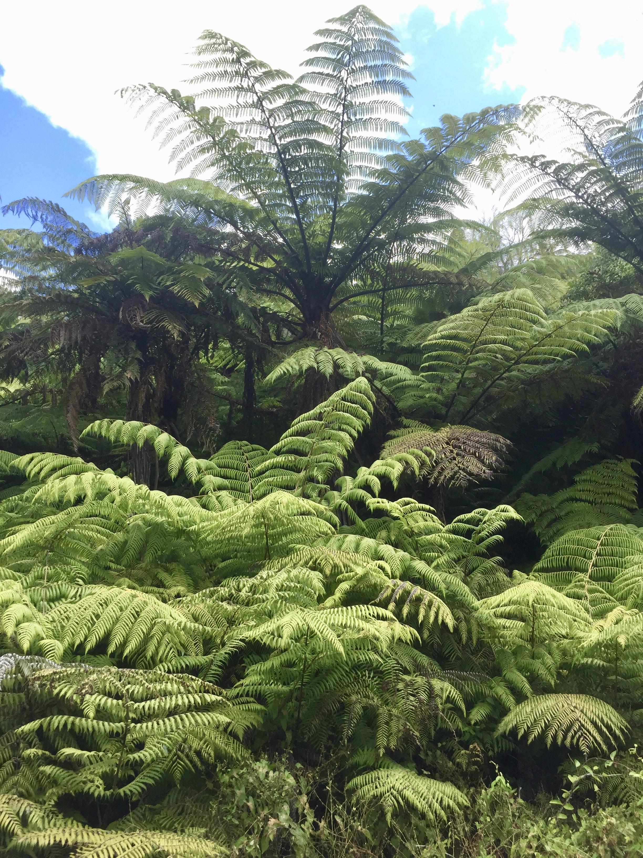 Tree ferns