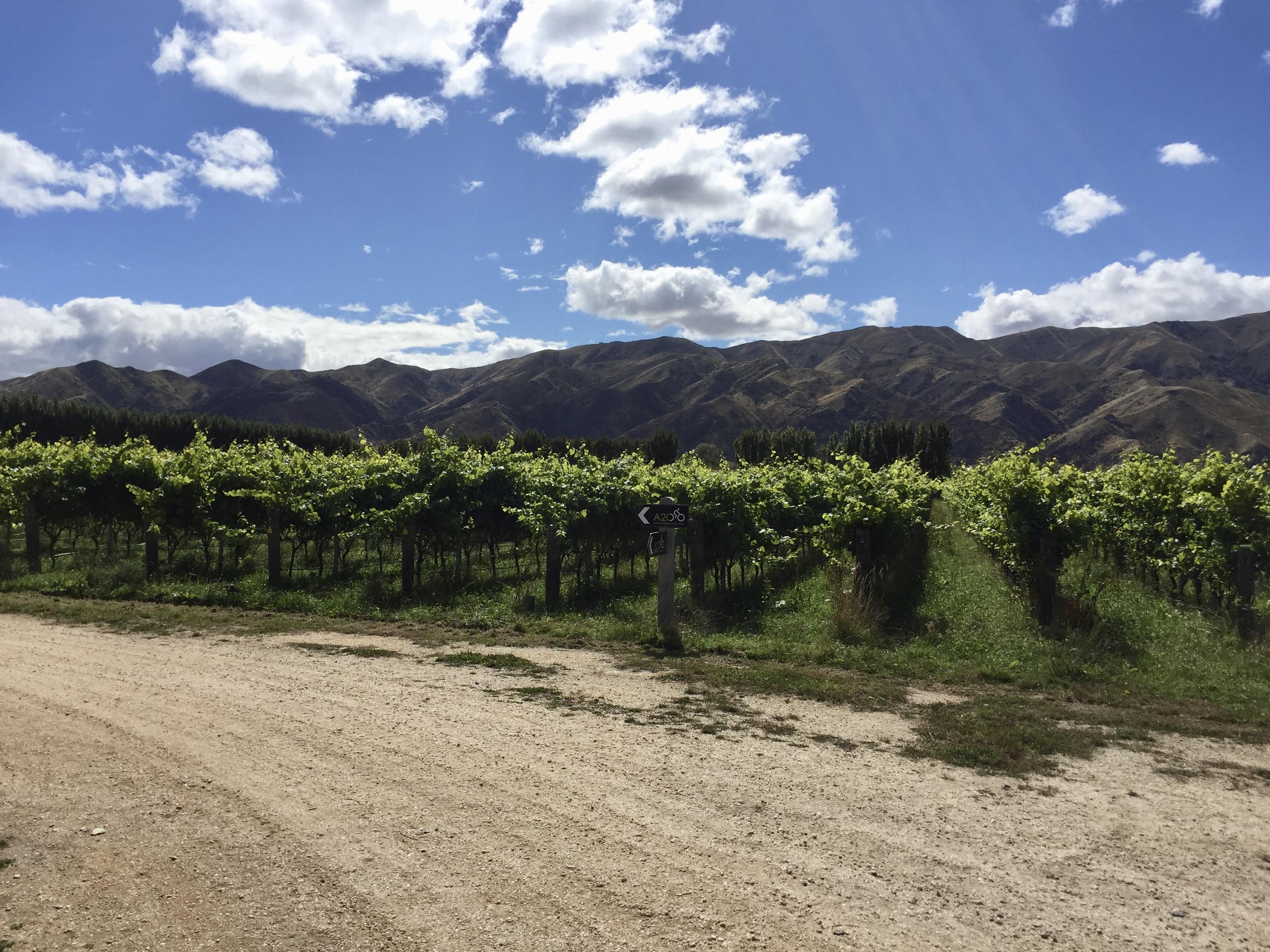 The trail went through the vinyard